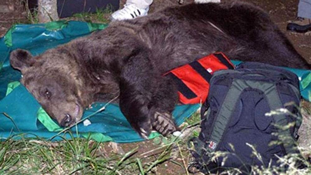 oso pardose